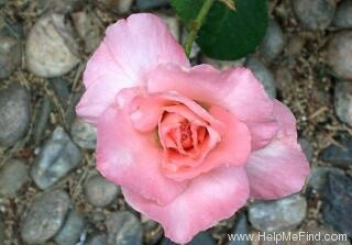 The Angela Lansbury Hybrid Tea Rose. Copyright 2002 © HelpMeFind.com. All rights reserved.