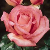 The Angela Lansbury Hybrid Tea Rose